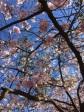 Cherry blossoms at Kungsträdgården Stockholm